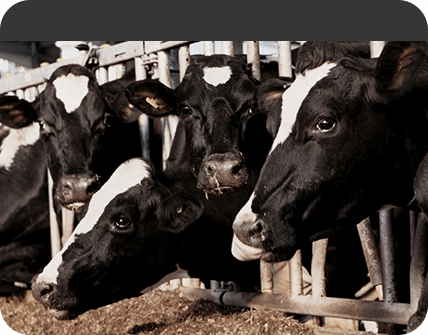 cows in corral